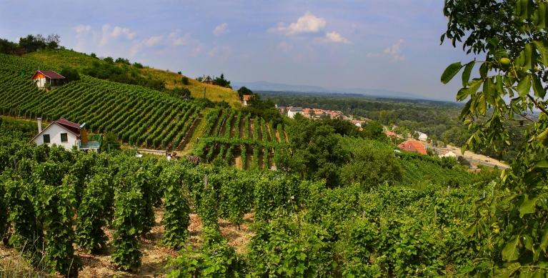 Vineyard near Tokaj